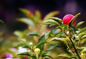 Red Fruit and Green Leaves by SudiptaAmature