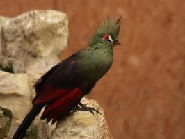 Tropical Bird (Guinea Turaco) by Jeff59