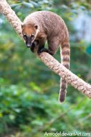 South American Coati II by amrodel