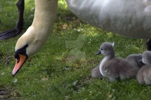 Baby Swans and Mother Swan by ZoeCoombesPhoto