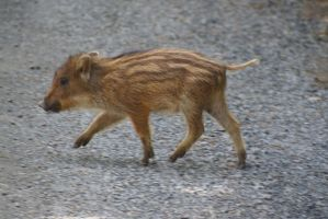 Baby Boar 02 by gaothaire
