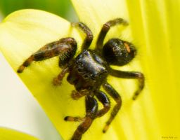 Bold Jumping Spider (Phidippus audax) by dannypyle