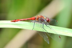 Wings of a dragonfly by Justysiak