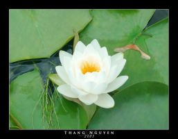 Water Lily by seraphx