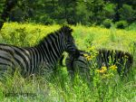 Zebra's by Immortals-Dream