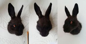 Black rabbit of Inle head mount by DeerfishTaxidermy