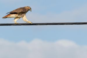 Hawk High Wire Act 6 by bovey-photo