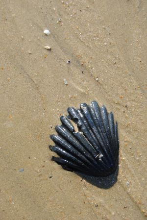 Black seashell by Elmininostock