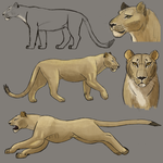 More lion practice by Fehlung
