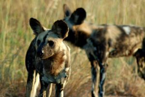Wild Dogs I by ruffian11