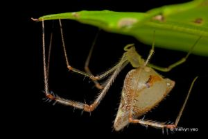 Pregnant Golden Comb-Footed Spider by melvynyeo