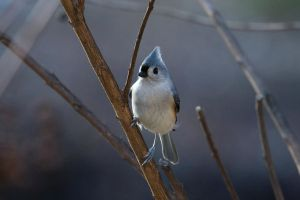 Tufted Titmouse no. 2 by Mischi3vo