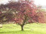Crabapple Tree by turtlyawesome