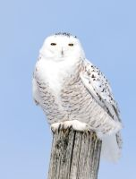 Snowy owls 4 by RichardRobert