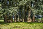 Cows like Trees by Aneede