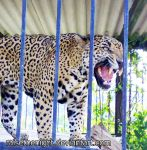 Male Jaguar by raisethenight