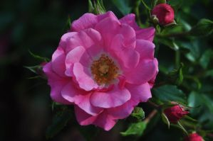 same wild pink rose by xim0nfir3x