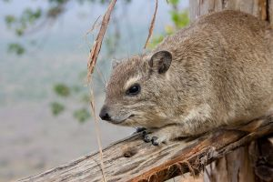 Hyrax portrait by DeviantTeddine