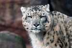 The snow leopard stare! by Seb-Photos