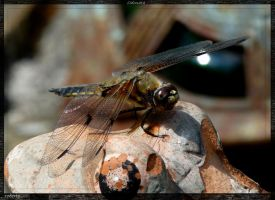 Odonata by rope-Focus-admission