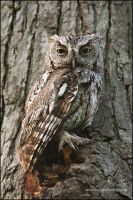Eastern Screech Owl camoflauge by gregster09