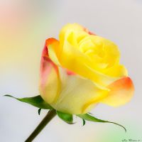 YellowPinkRed Rose by JacqChristiaan