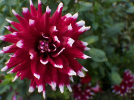 Red and white Dahlia #3 by Darklordd