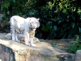 White Tiger by p34nutz