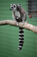 Mother Ring-Tailed Lemur by NicamShilova