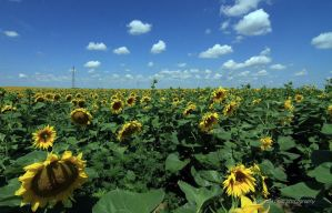 Sunflower fields forever by zcikovac