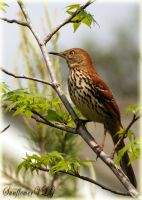 Brown Thrasher by sunflowervlg