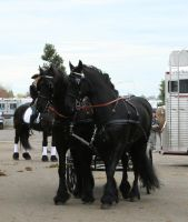 horse 35: pair in harness by cyborgsuzystock