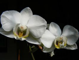 White Orchids by Azagh