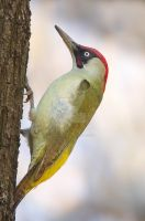 Freeze - Green Woodpecker -(male) by Jamie-MacArthur