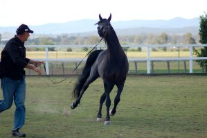 GE Arab black trot front view by Chunga-Stock