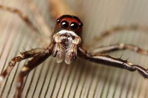 Jumping spider by bredli84