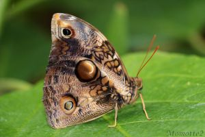 Owl butterfly in green world by Momotte2