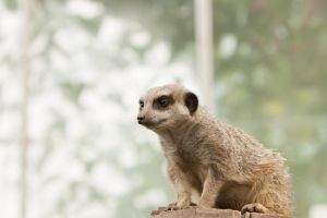 More from Meerkat Manor by Wedding-man