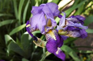 iris by MiaLeePhotography