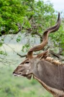 Great Greater Kudu by MJWallace