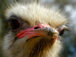Ostrich Male III by Jenvanw