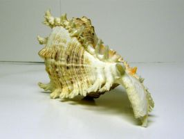 Conch Shell Stock16 by NoxieStock