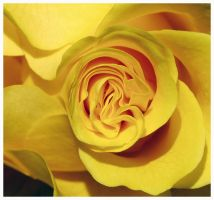 yellow rose by DasGloy