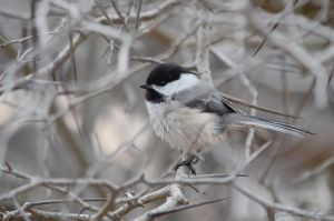 Fluffy Black-Capped Chickadee by GuillaumGibault