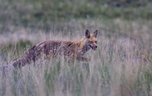 The Mill Creek Fox by LakeFX
