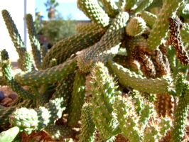 Cactus 5 by Spiteful-Pie-Stock