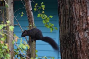 Black Squirrel-08OCT2015-03 by SkyfireDragon