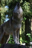 Grey Wolf: Howling I by WhiteSpiritWolf
