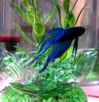 Siamese Fighting Fish by Beautelle