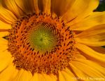 Sunflower by Passion4Photos